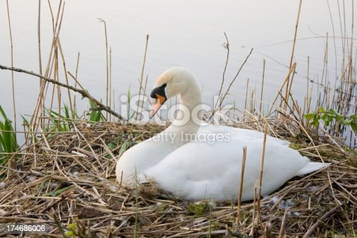 istock swan in reed 174686006