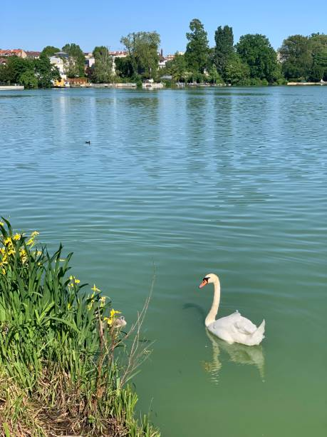 A swan in the lake. stock photo