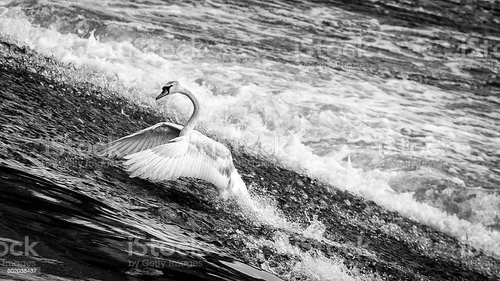 Swan in the River Dee stock photo