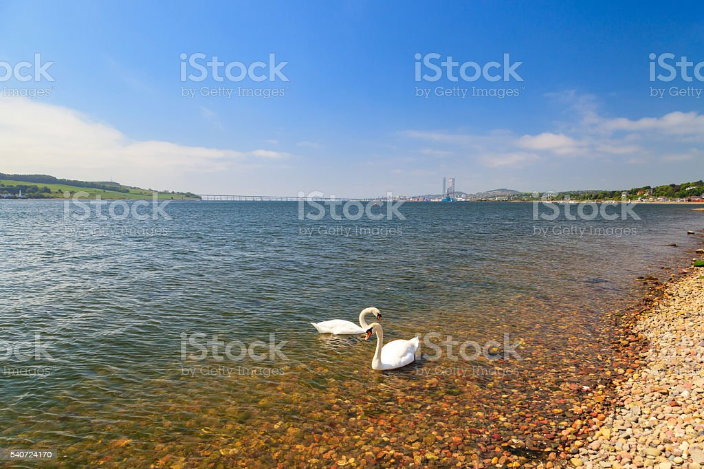 Swan in the river Tay on sunny day in Dundee, Scotland stock photo