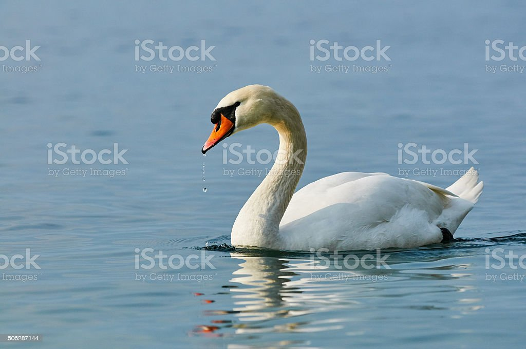 Swan in water stock photo