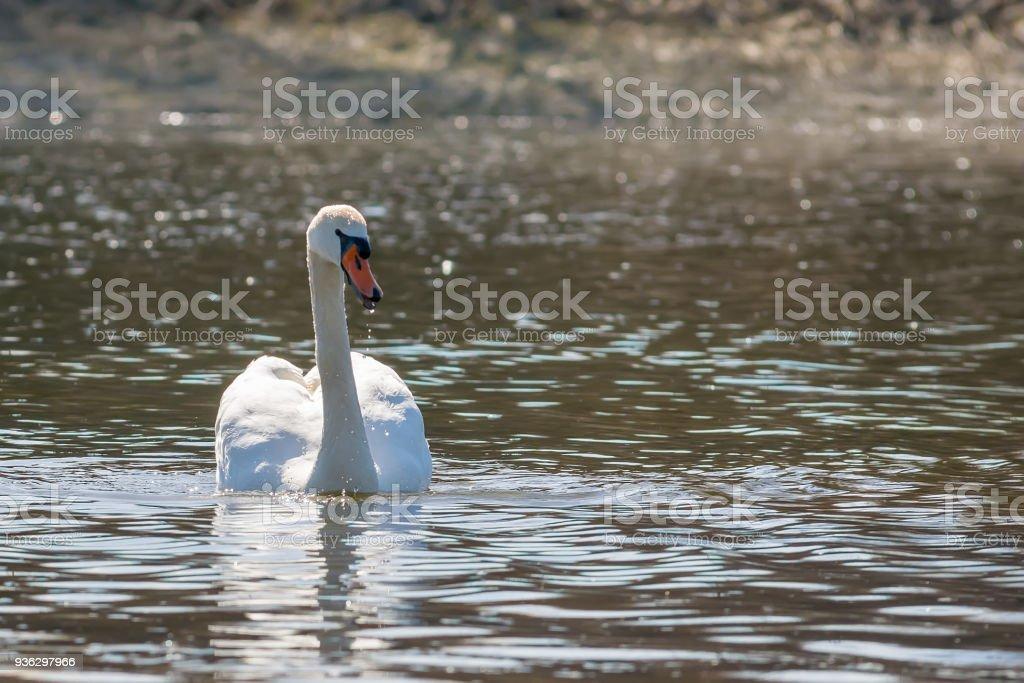 Swan in water stock photo