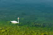 Swan is swimming on Lake Zug in Oberwil town, Canton of Zug, Switzerland