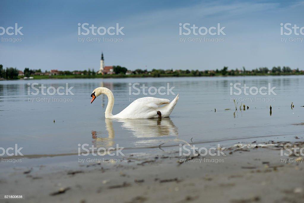 Swan is swimming stock photo