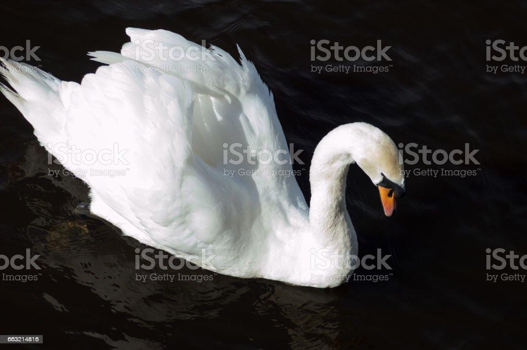 Swan Juan ii stock photo