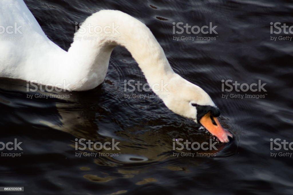 Swan Juan iii stock photo