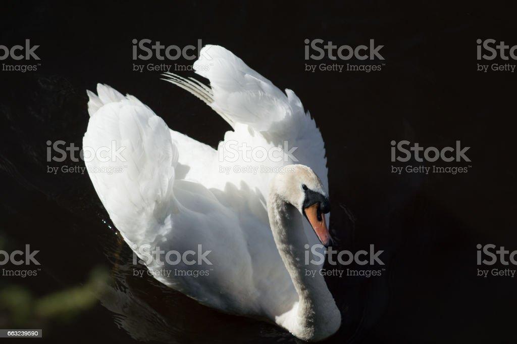 Swan juan stock photo