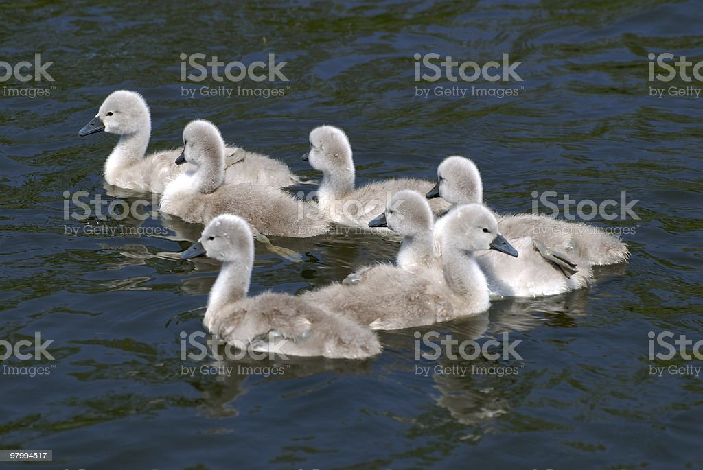 Swan kids swimming in lake stock photo