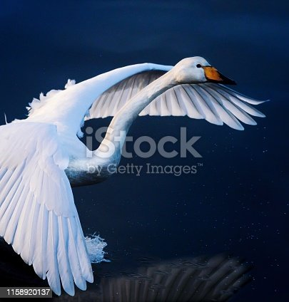 Swan flying over lake