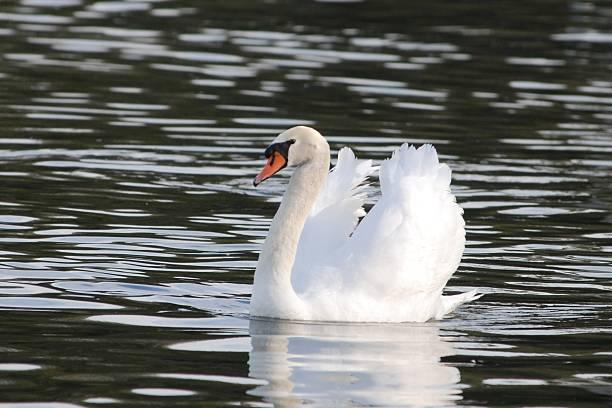 Swan Lake stock photo