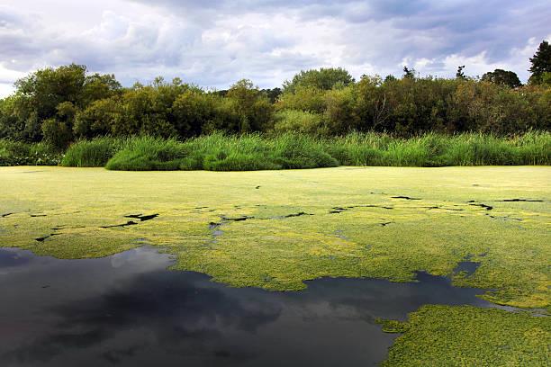 swan lake - algen stock-fotos und bilder