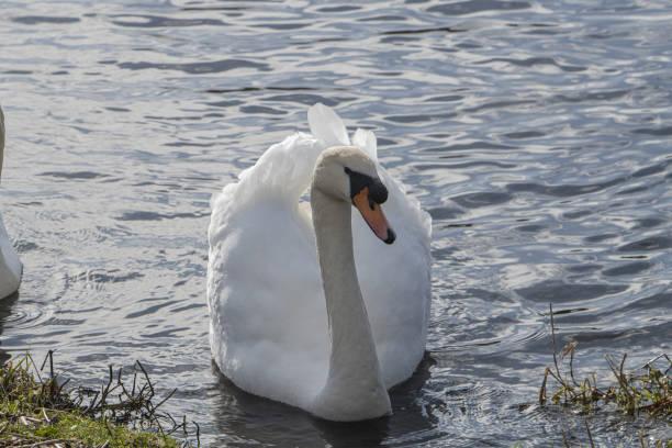 Swan Murdieston  dam greenock stock photo