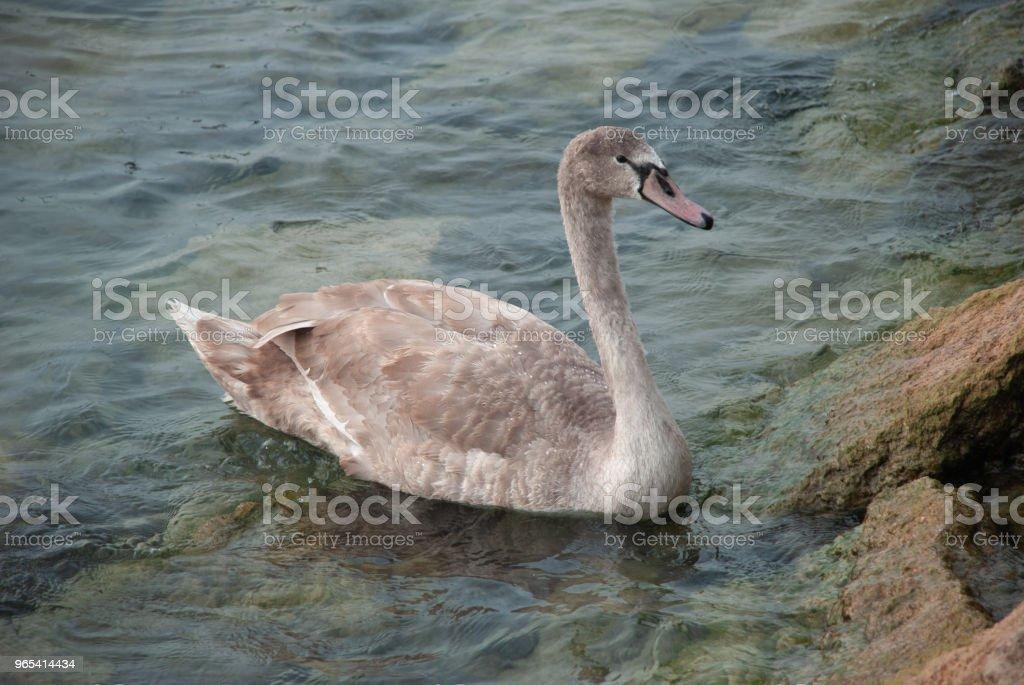 Swan near the rocks in the water zbiór zdjęć royalty-free