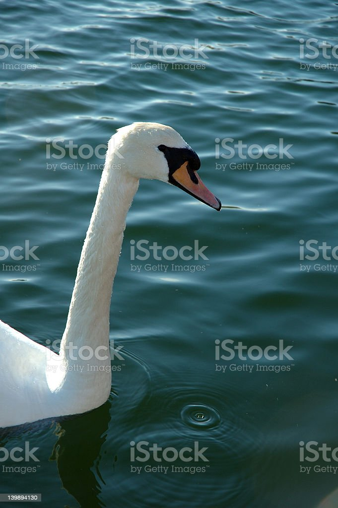 Swan, neck and droplet stock photo