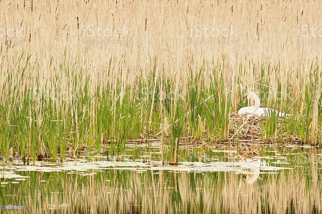 Swan Nest Bird Hatching Eggs royalty-free stock photo