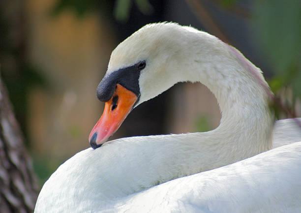 Swan nistenden-Nahaufnahme – Foto