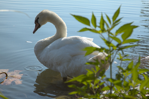 Swan next to the shore of a river