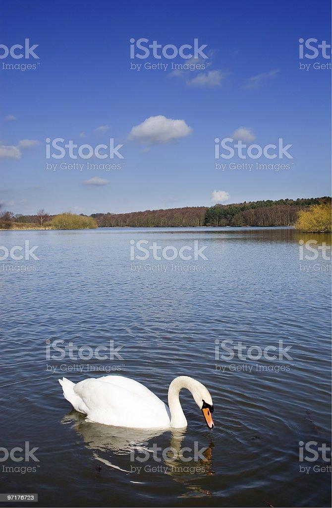 Swan on a Deep Blue Lake stock photo