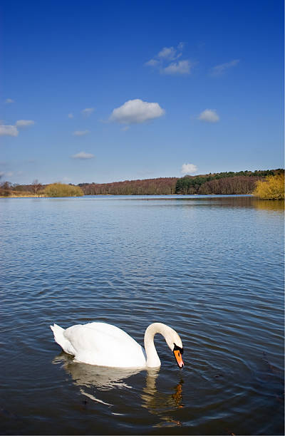 Swan on a Deep Blue Lake stock photo