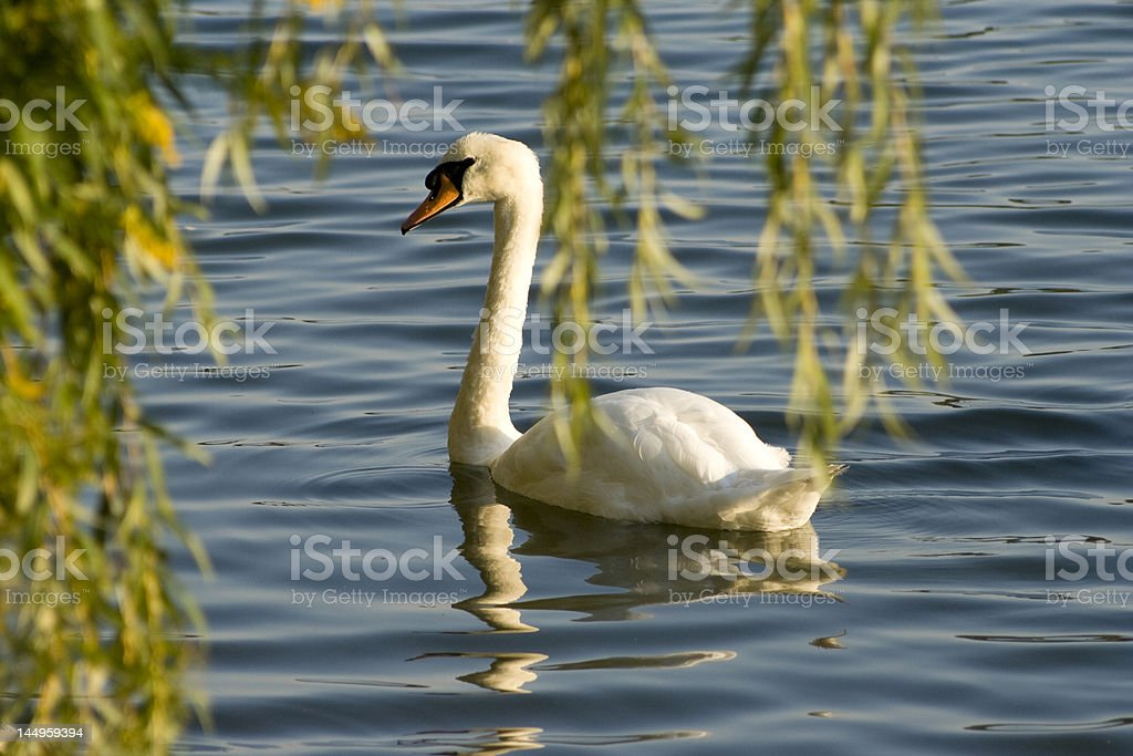 Swan on a lake 5 royalty-free stock photo