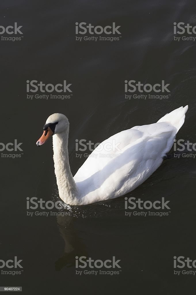 Swan on a river in Holland royalty-free stock photo