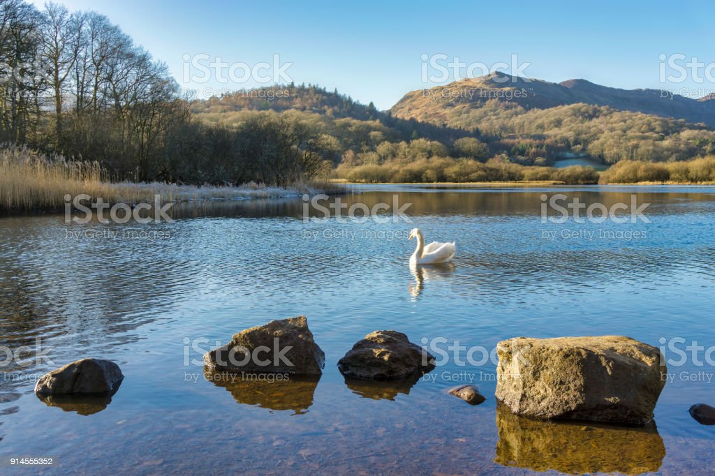 A swan on Elterwater with hills in the background and a row of rocks in the foreground stock photo