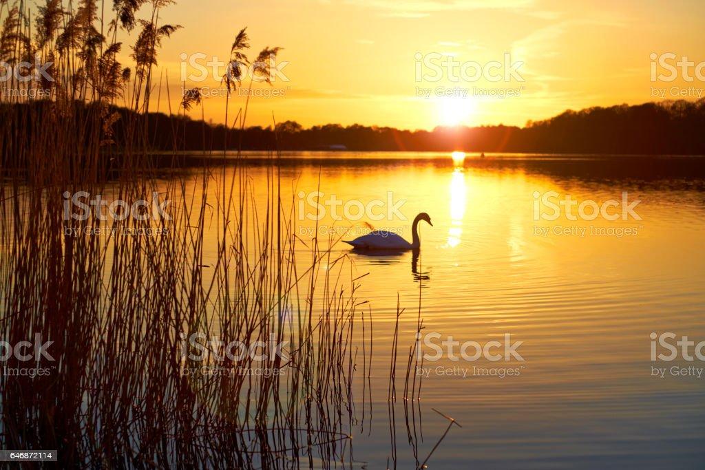 Swan On Frensham Great Pond, Surrey Hills stock photo