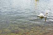 Swan on Lake Lucerne Switzerland