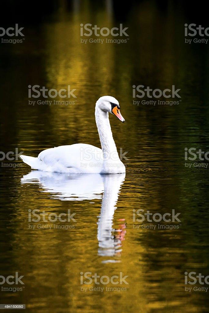 Swan on lake stock photo
