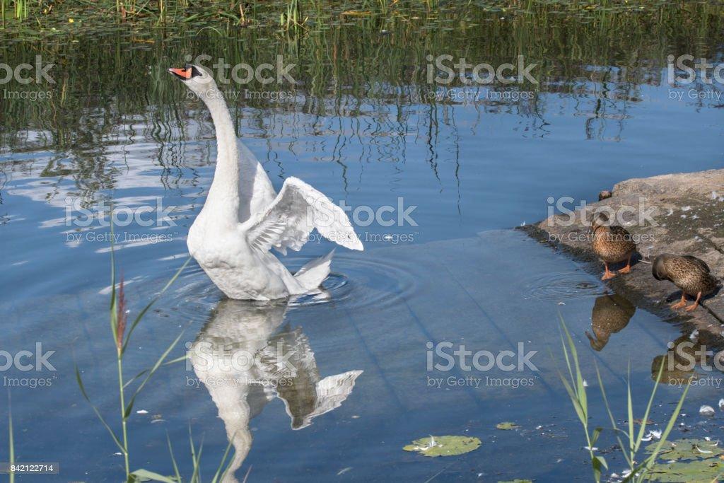 Swan on LLangor Lake Brecon Beacons UK stock photo