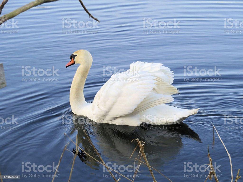 Swan on Magor Marsh stock photo