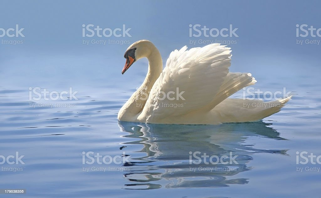 swan on misty blue lake royalty-free stock photo