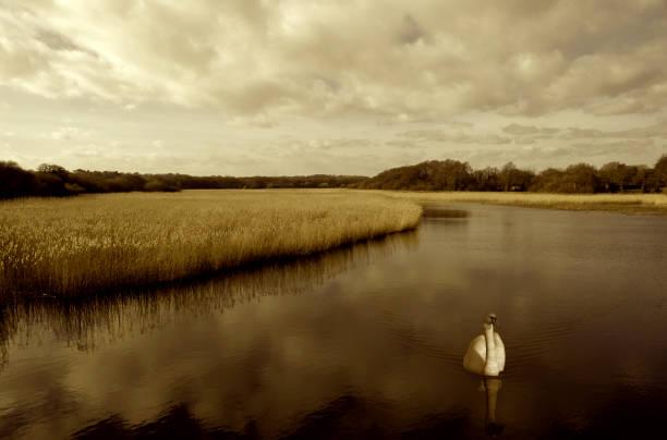 Swan on Pond, Sepia Toned stock photo