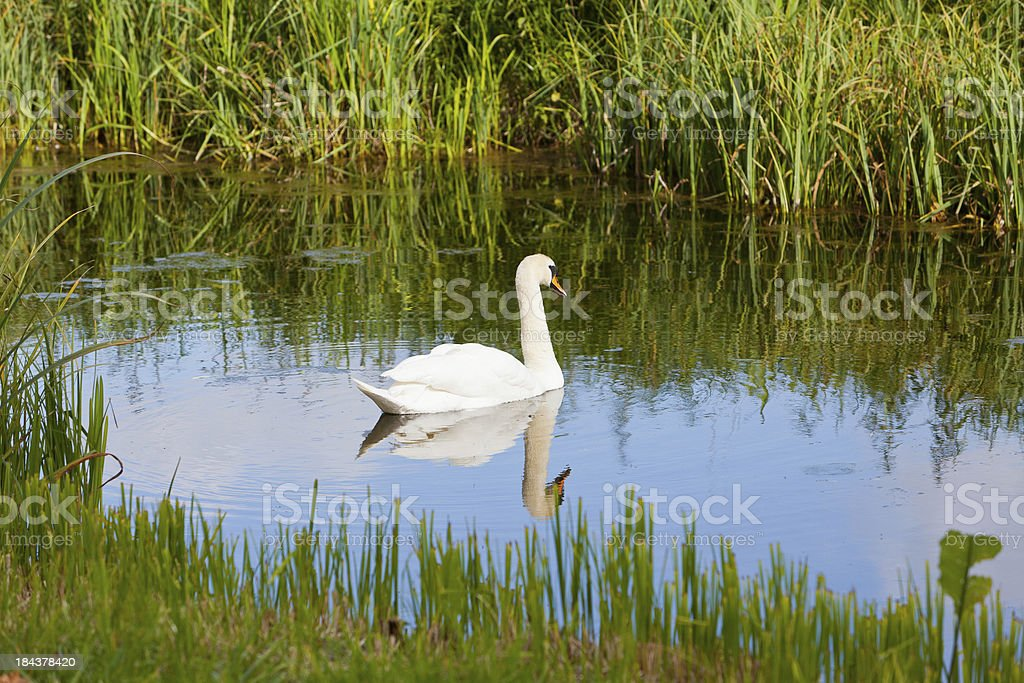 Swan on river with reflection in evening stock photo