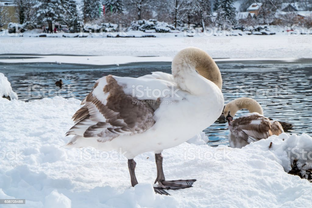 Swan on snow – Foto