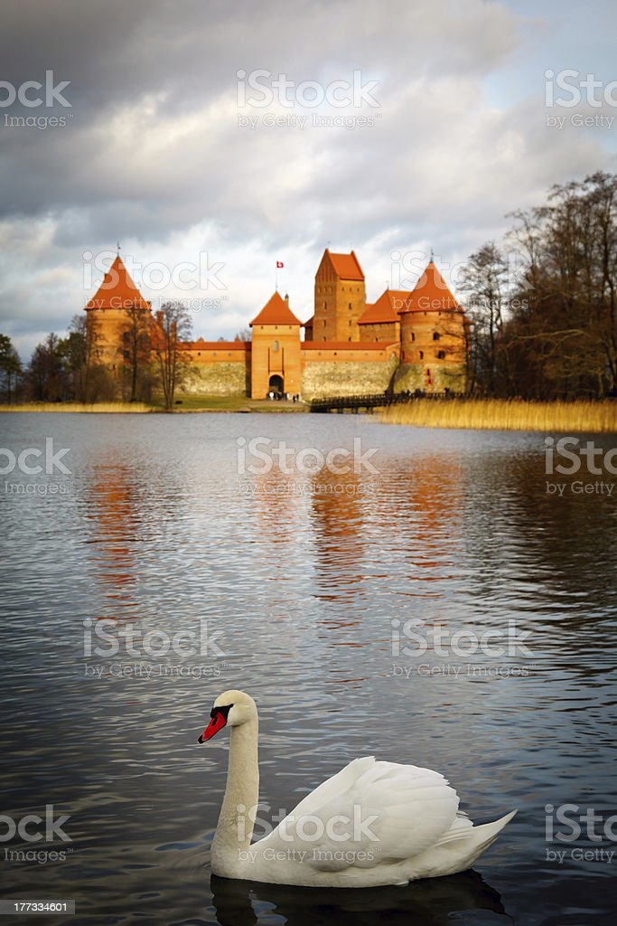 Swan on the background stock photo