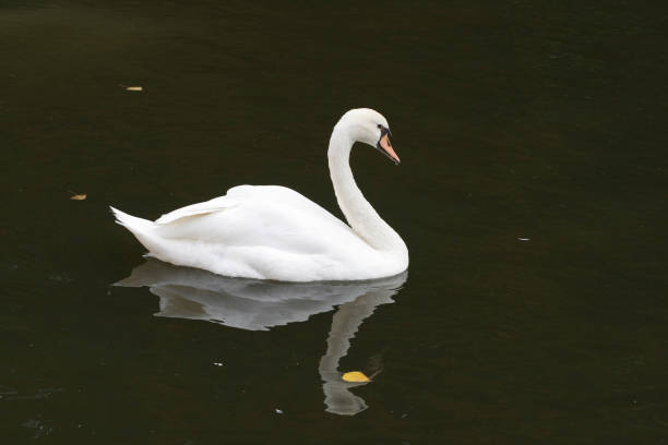 A swan on the canal. stock photo