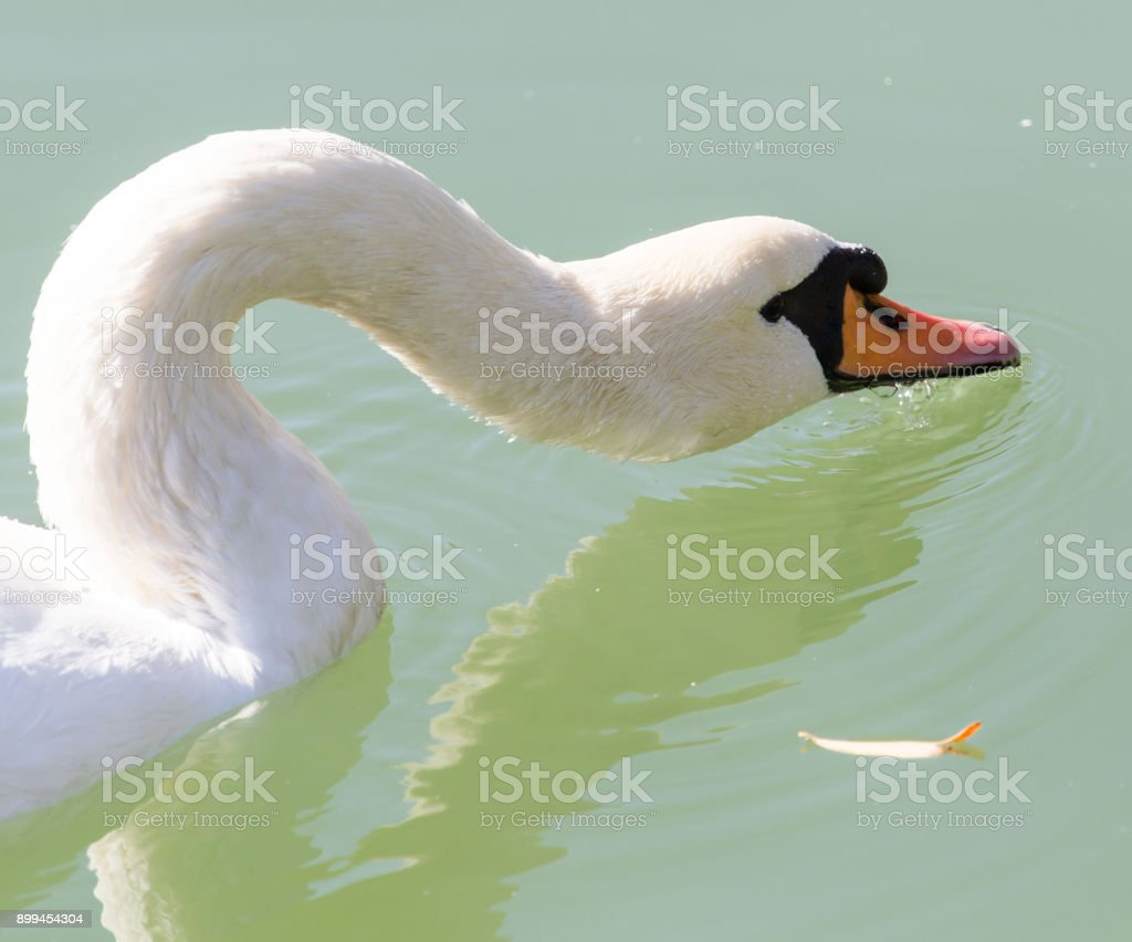 swan on the lake in the nature stock photo
