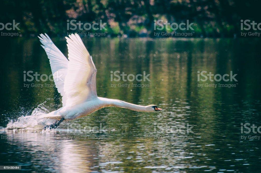 Gölde kuğu. royalty-free stock photo