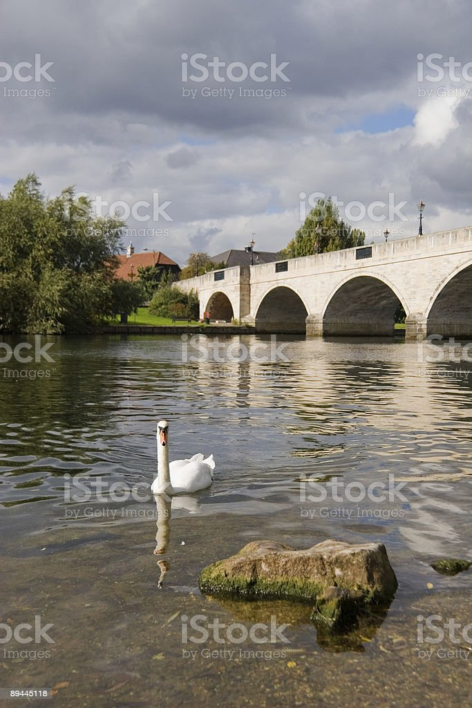 Swan on the river royalty-free stock photo