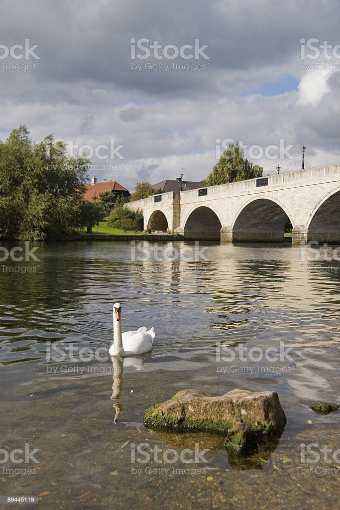 Swan auf den Fluss Lizenzfreies stock-foto