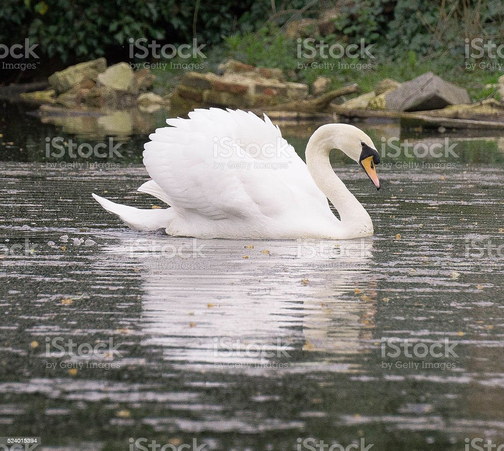 Swan on the side stock photo