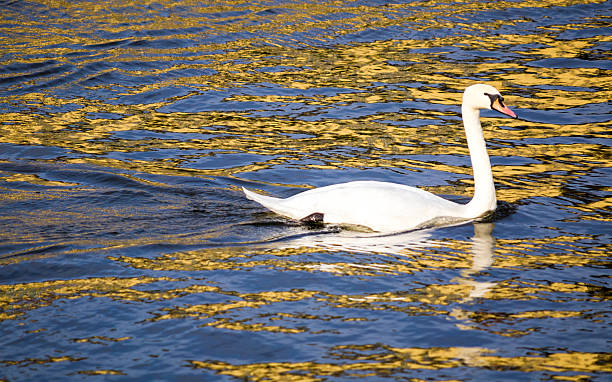 Swan on water stock photo