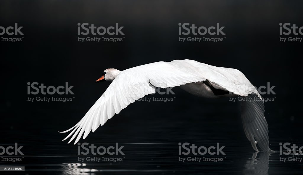 swan over the river stock photo