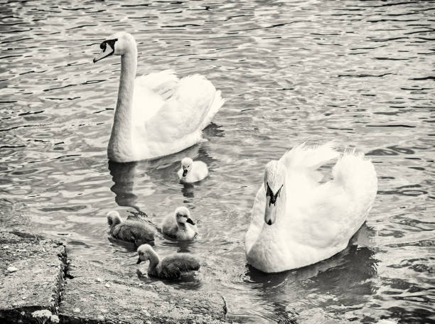 Swan-Eltern mit ihren jungen im Wasser, farblos – Foto