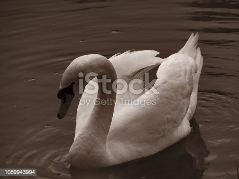 The Beautiful Swans of the Danube River