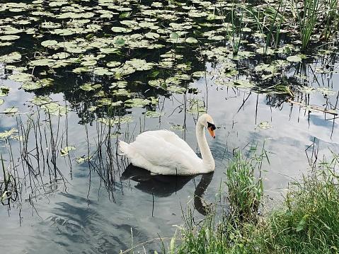 Irish swan