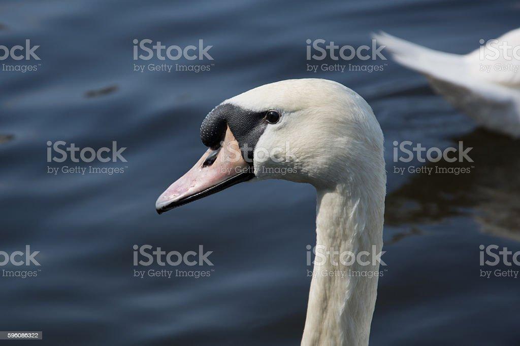 Swan (Cygnini) royalty-free stock photo