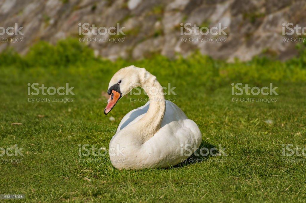 Swan photo libre de droits