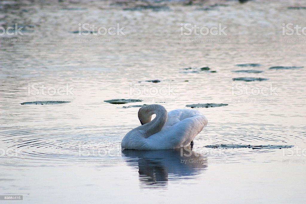 Cisne foto de stock libre de derechos